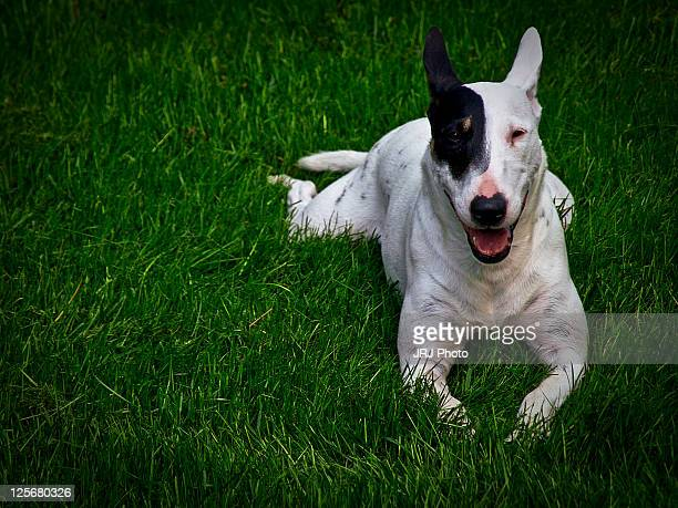 Mollie bull terrier relaxing on grass