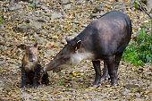 Tapir breeding (Tapirus bairdii)