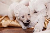 close up portrait of a white labrador retriever mother with puppy