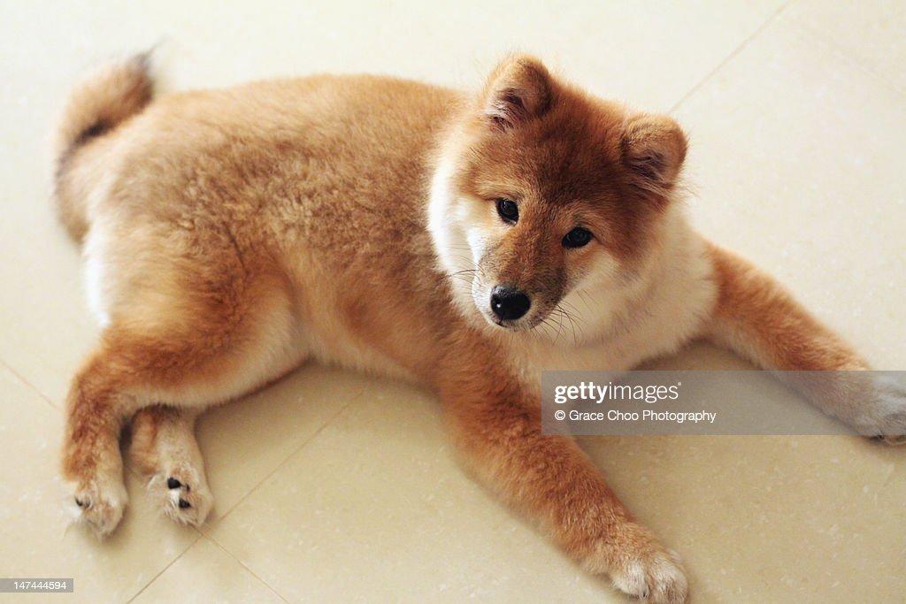 Momo, shiba inu puppy : Stock Photo