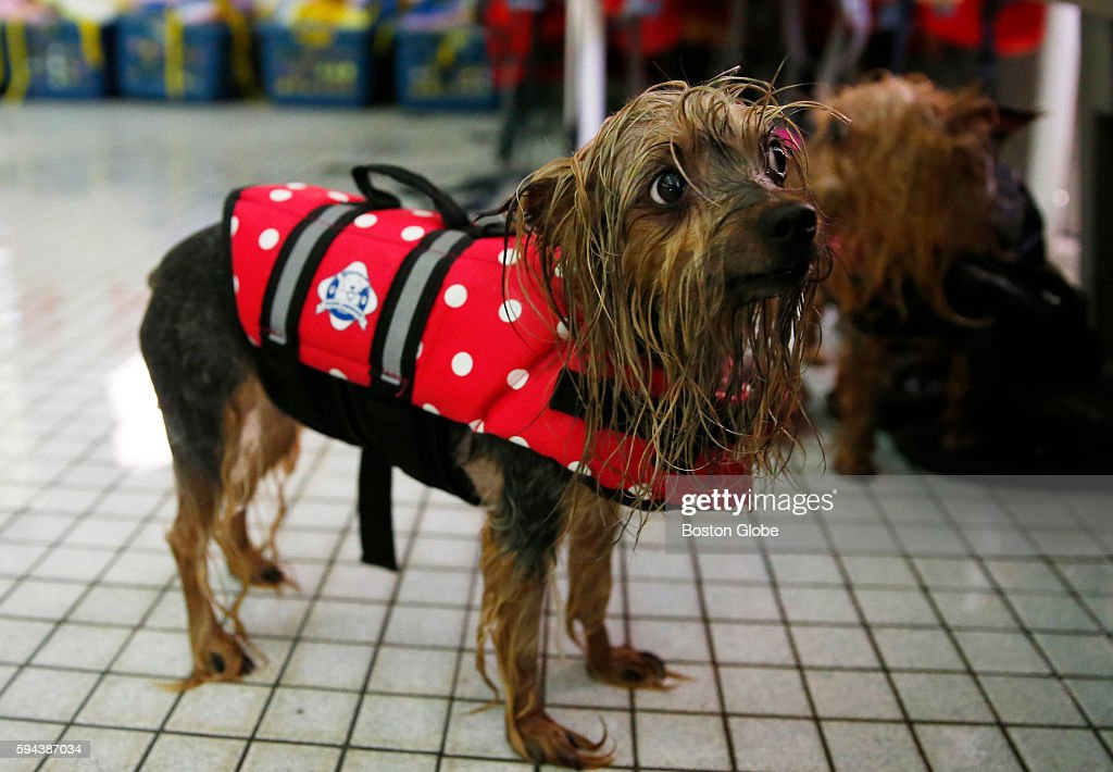 Momo waits to be toweled off after coming out of the pool during the annual Puppy Swim at the Burbank YMCA in Reading Mass Aug 21 2016