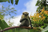 Mona Monkey in the Grand Etang Forest Reserve on the Caribbean island of Grenada