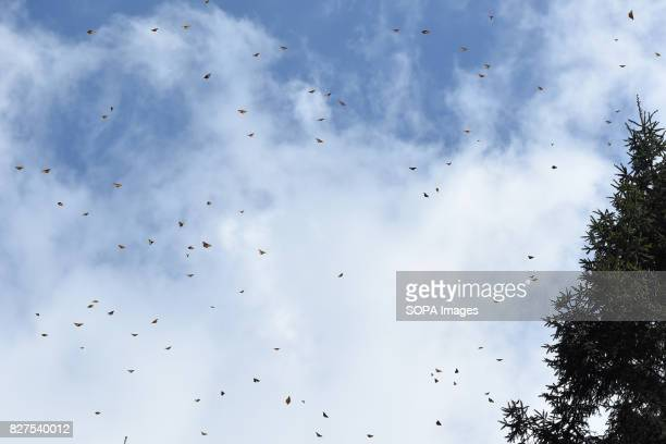 Monarch butterflies 'Danaus Plexippus' are seen flying in the forests of Oyamel during their migration to Mexico from August to October to escape the...