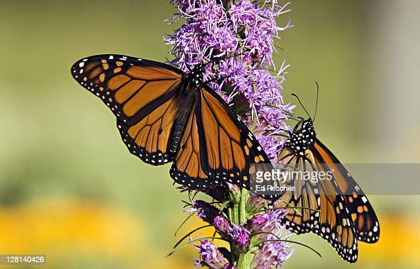 Monarch Butterflies, Danaus plexippus, on Blazing Star, Liatris sp, Michigan, USA. Male on left has two spots on hind wings. Host plants are milkweeds. Incredible long annual migration (some, 2500 miles).