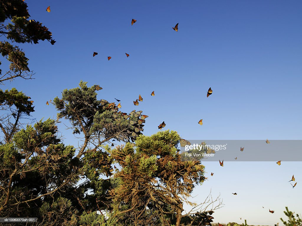 Monarch Butterflies flying around pine tree against pure blue sky, low angle view