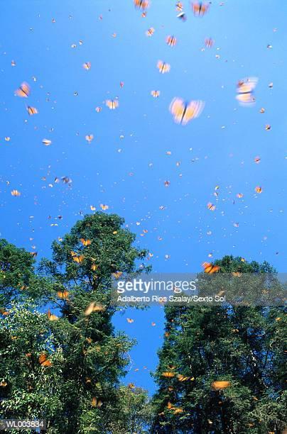 Monarch butterflies (Danaus plexippus) flying (blurred motion)