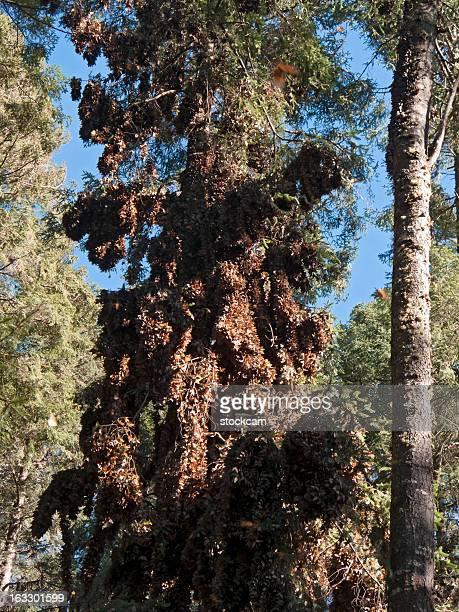 Farfalle monarca si attiva l'ibernazione, Messico