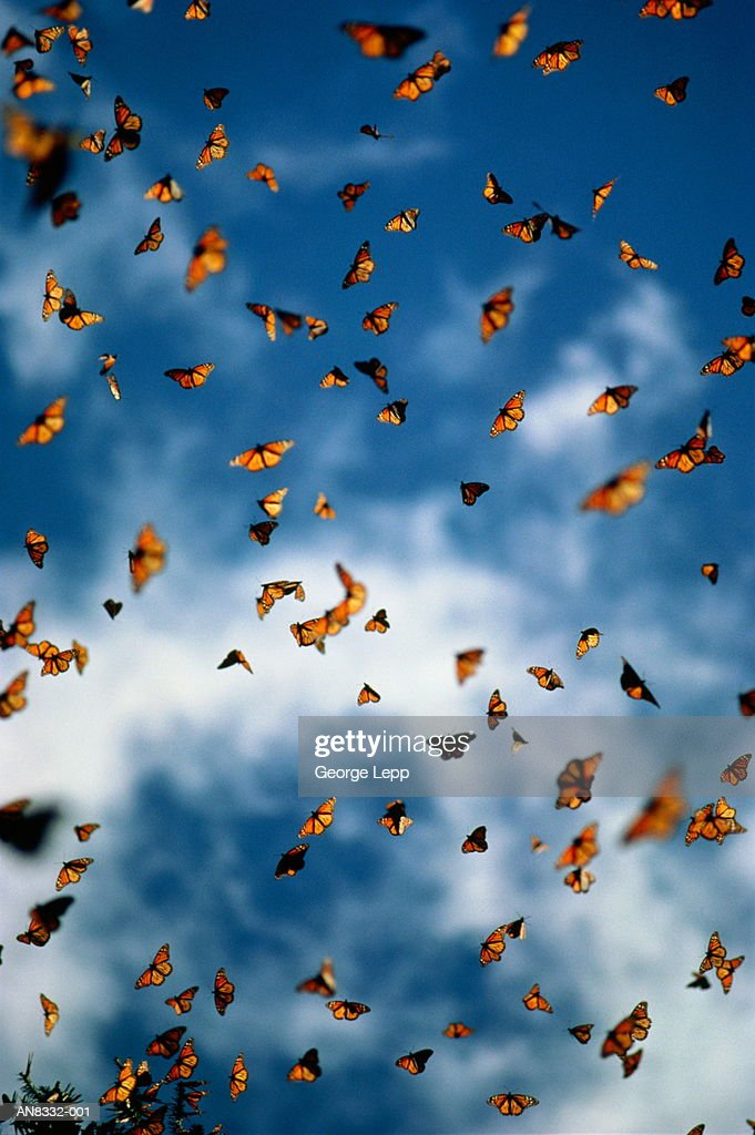 Monarch Butterflies in air against cloudy blue sky