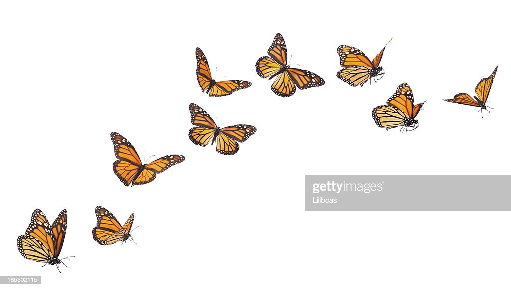 Monarch Butterflies in Motion