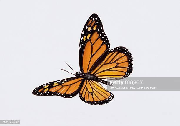 Monarch butterflies Nymphalidae Artwork by Tim Hayward
