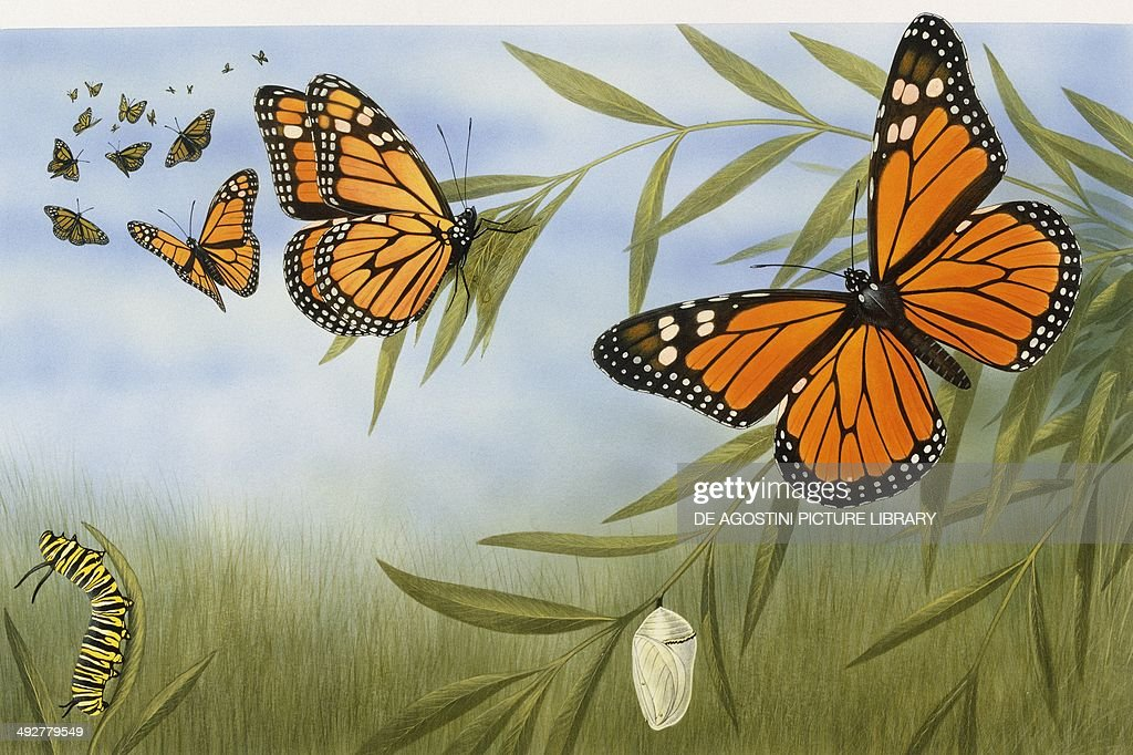 Monarch butterflies (Danaus plexippus), Nymphalidae, with larva and cocoon.