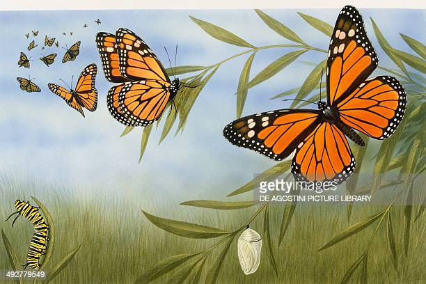 Monarch butterflies Nymphalidae with larva and cocoon