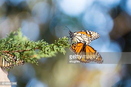 Monarch Butterflies on Evergreen branch : Stock Photo