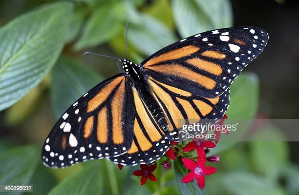 A Monarch butterfly alights on a flower at the Chapultepec Zoo on March 19 2015 in Mexico City AFP PHOTO/Yuri CORTEZ