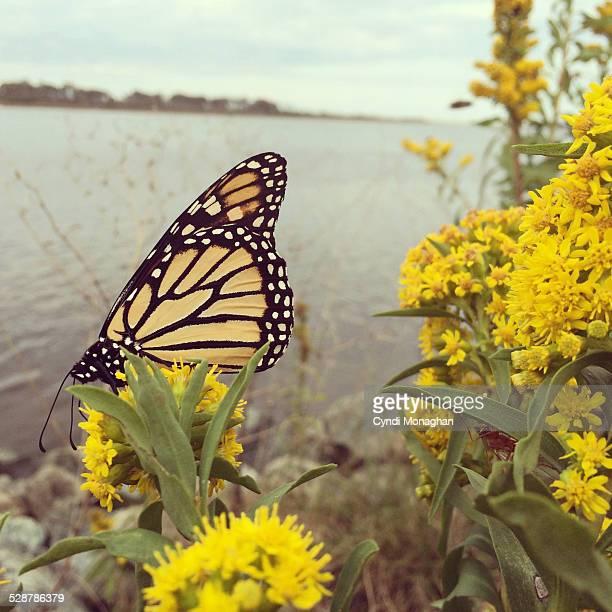 Monarch Butterfly and Assateague Island