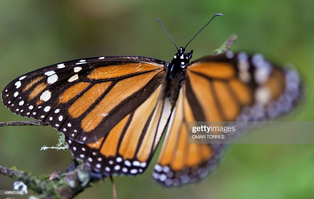 A Monarch butterfly at the oyamel firs forest in Temascaltepec Mexico on November 12 2015 Monarch butterflies almost quadruple the forest area they...