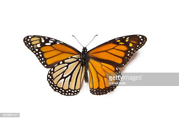 Monarch butterfly, Banaus plexippus