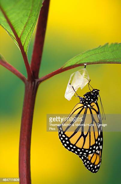 Monarch Butterfly Beginning To Emerge From Chrysalis During Pupa Stage Of Butterfly Metamorphosis