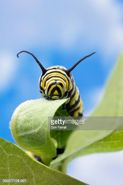 Monarch butterfly (Danaus plexippus) caterpillar on leaf, close-up