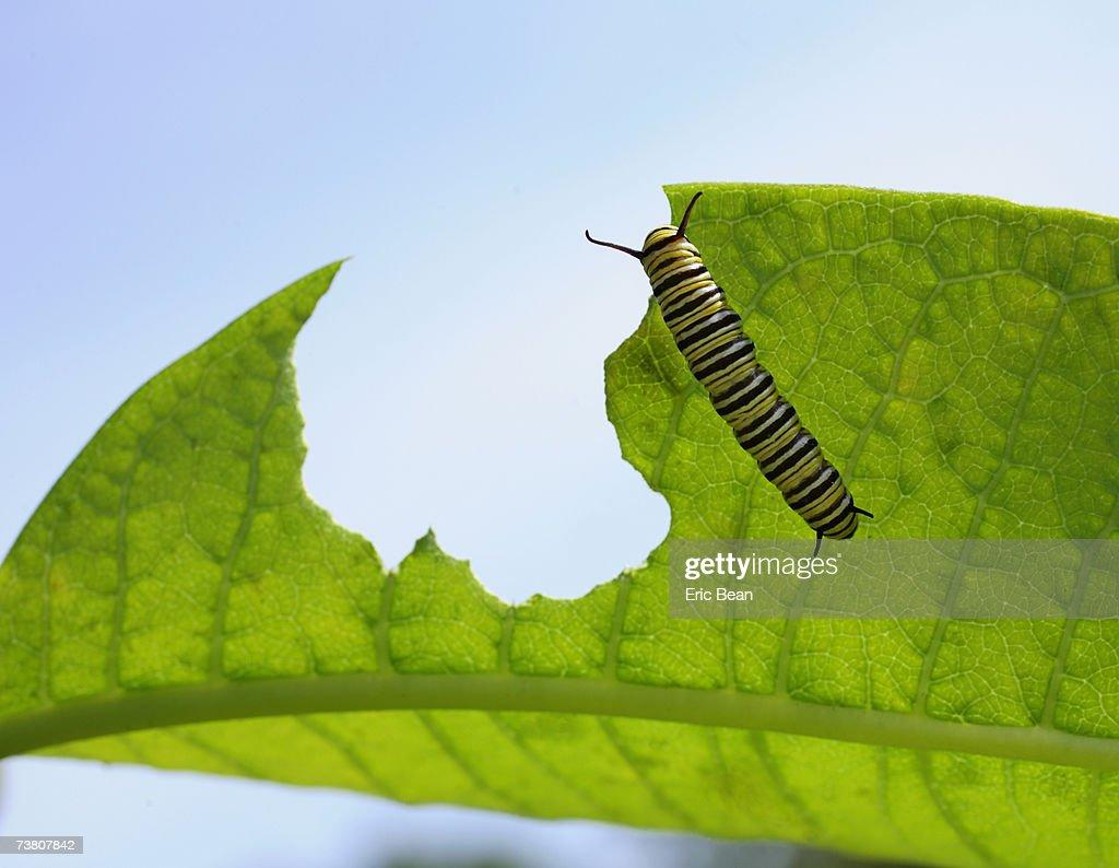 Monarch Butterfly (Danaidae plexippus) caterpillar on milkweed
