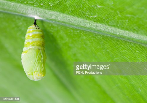 Monarch butterfly chrysalis hanging from leaf