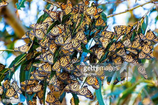 Monarch Butterfly Cluster : Stock Photo