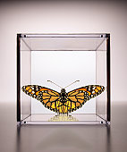 Monarch Butterfly confined in a box