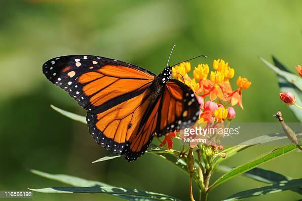 Farfalla monarca, Danaus plexippus