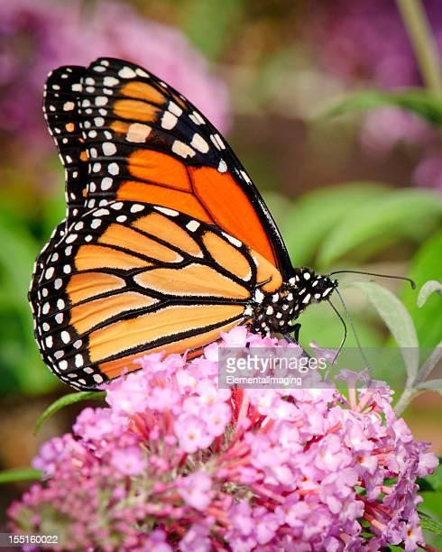 Farfalla monarca (Danaus plexippus) bere nettare sui fiori viola