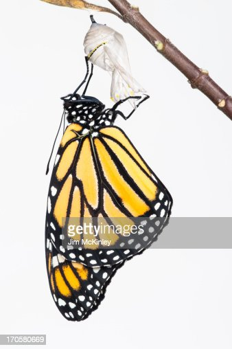 Monarch butterfly ecloses from chrysalis
