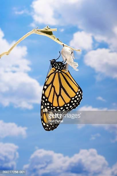 Monarch butterfly (Danaus plexippus) emerging from chrysalis