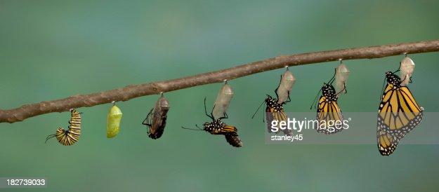 Monarch から現われる蝶のクリサリス
