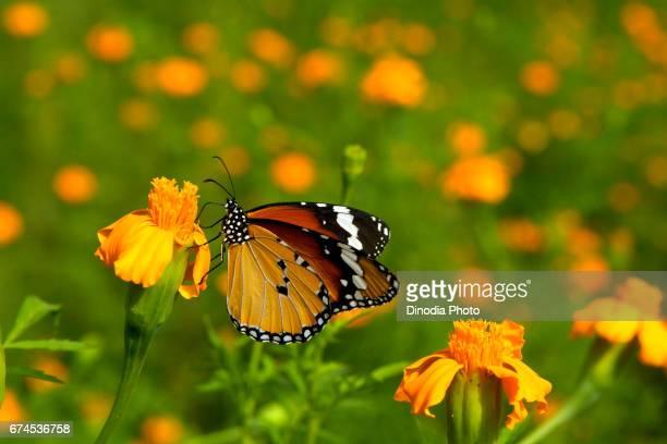 Monarch Butterfly feeding on flower, mumbai, maharashtra, india, asia