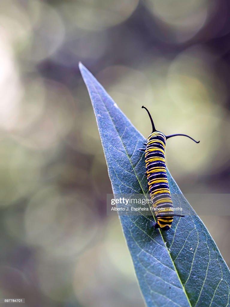Monarch Butterfly Grub on a leaf