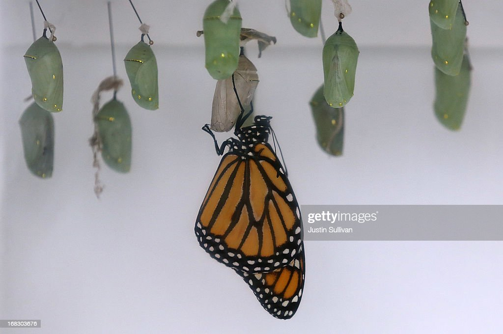 A Monarch butterfly hangs from its cocoon during the first day of the 'Butterflies and Blooms' exhibit at the Conservatory of Flowers in Golden Gate Park on May 8, 2013 in San Francisco, California. The popular 'Butterflies and Blooms' exhibit has returned to the Conservatory of Flowers and features more than 20 species of North American butterflies including Monarchs, Western Swallowtails and more.