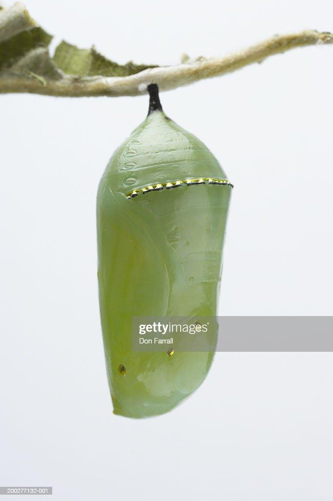 Monarch butterfly (Danaus plexippus) in chrysalis, close-up