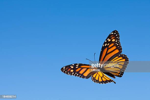 Monarch Butterfly in the Sky