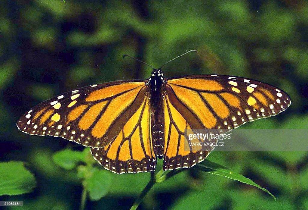 A monarch butterfly is seen on a leaf in Valle de Bravo Mexico 15 November 2001 Un ejemplar de mariposa monarca posa sobre una rama de un bosque de...