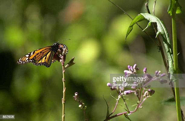 Monarch butterfly lands on a flower branch January 29 2001 at the butterfly sanctuary in Michoacan Mexico Some 100 million or more of the orange and...