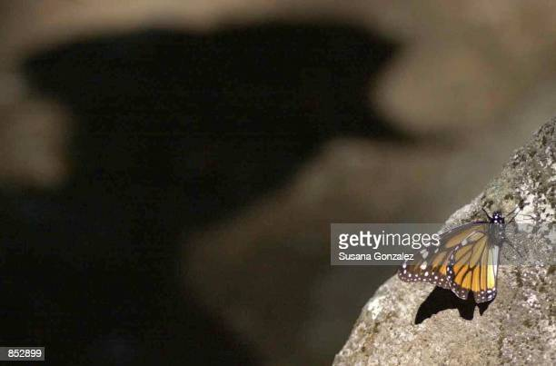 Monarch butterfly lands on a rock close to a tourist guide January 29 2001 at the butterfly sanctuary in Michoacan Mexico Some 100 million or more of...