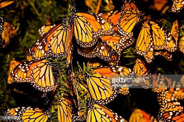 Farfalla monarca migrazione (Danaus plexippus