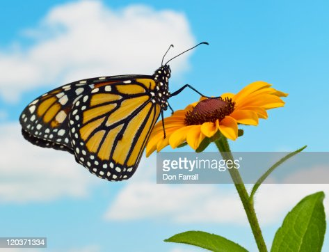 Monarch Butterfly on a Black Eyed Susan : Stock Photo