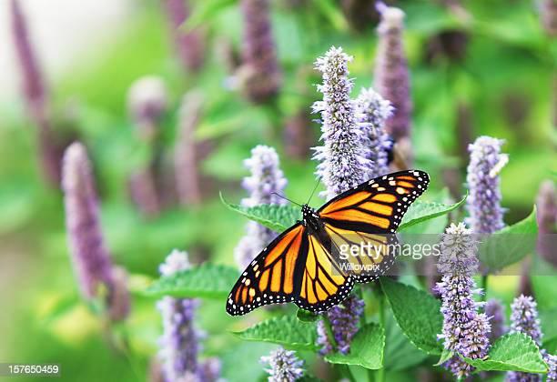 Farfalla monarca (Danaus plexippus) su fiori di lavanda anice Issopo