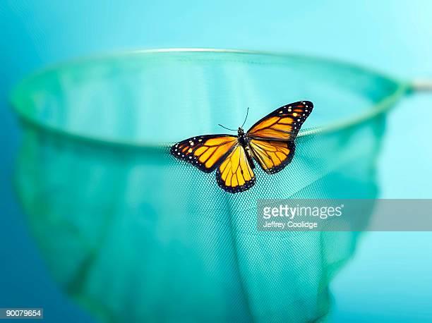 Monarch Butterfly on Net