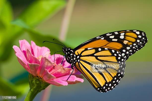 Farfalla monarca su fiore rosa Danaus plexippus,