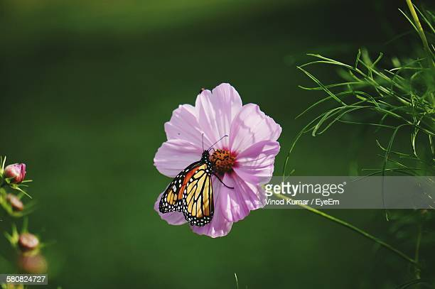Monarch Butterfly On Purple Cosmos Flower