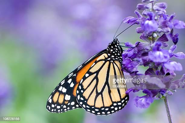 Borboleta-Monarca (Danaus plexippus) na Flor roxa