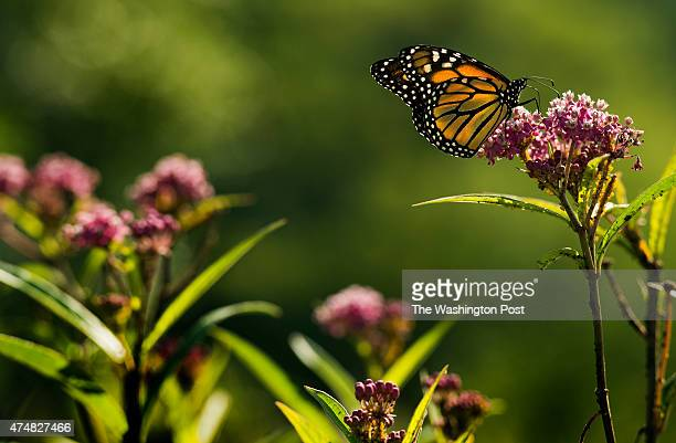 A monarch butterfly on swamp milkweed in the Meadow Garden at Longwood Gardens in Kennett Square PA on September 4 2014