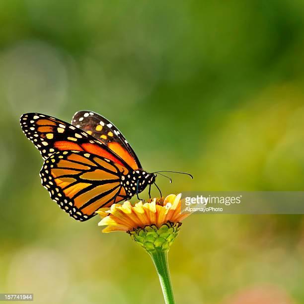 Farfalla monarca su fiore Zinnia-VIII