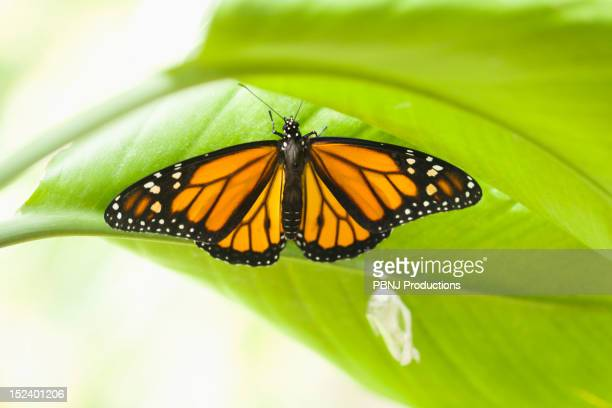 Monarch butterfly perching on leaf